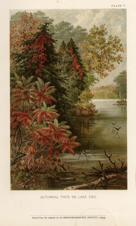 1896 Botanical Print LAKE ERIE Autumnal TREES Ivy Creepers PINES by Ernst Heyn